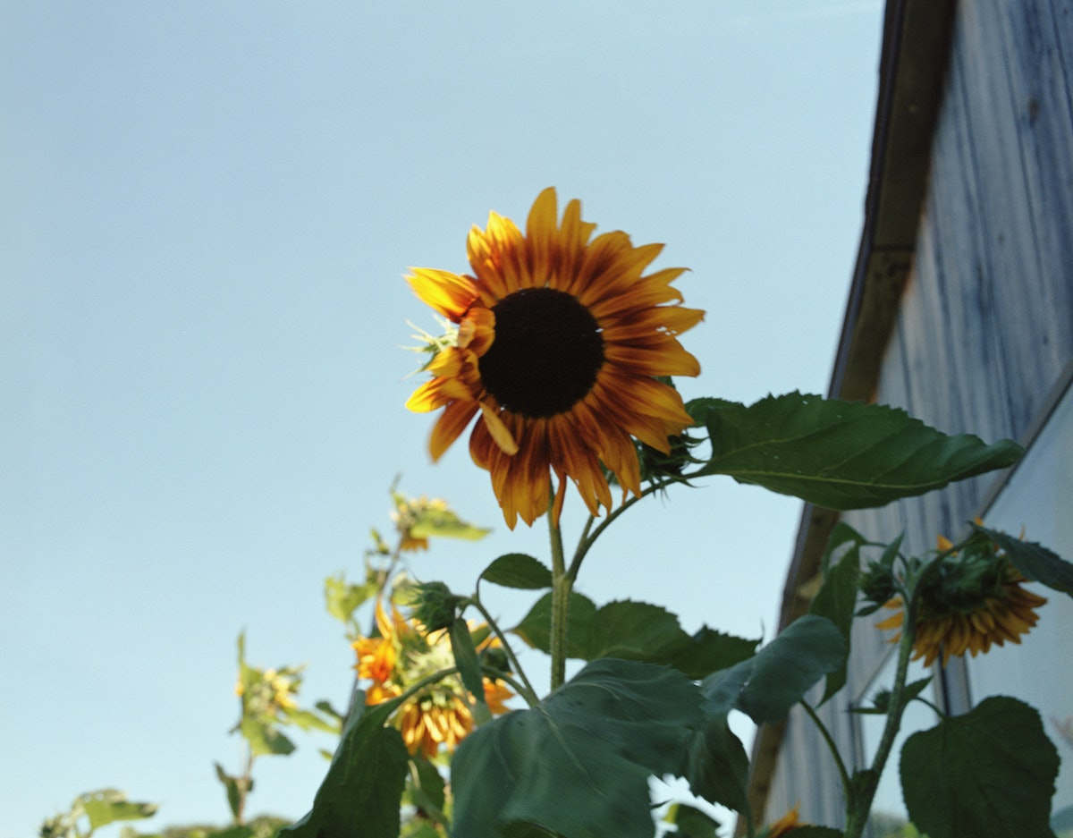 James Welling's Sunflowers