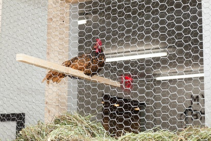 Bill Beckley's Rooster Bed Lying