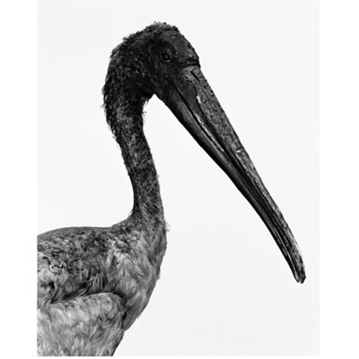 blog_deyrolles_pelican.jpg