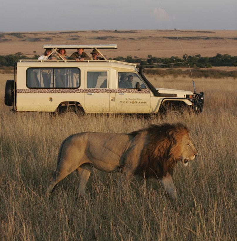 blog-Micato-Safaris-vehicle-and-lion.jpg