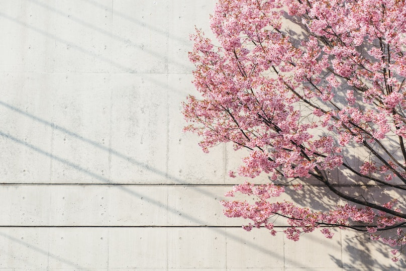 Cherry blossoms at the Children's Library, Tokyo.jpg