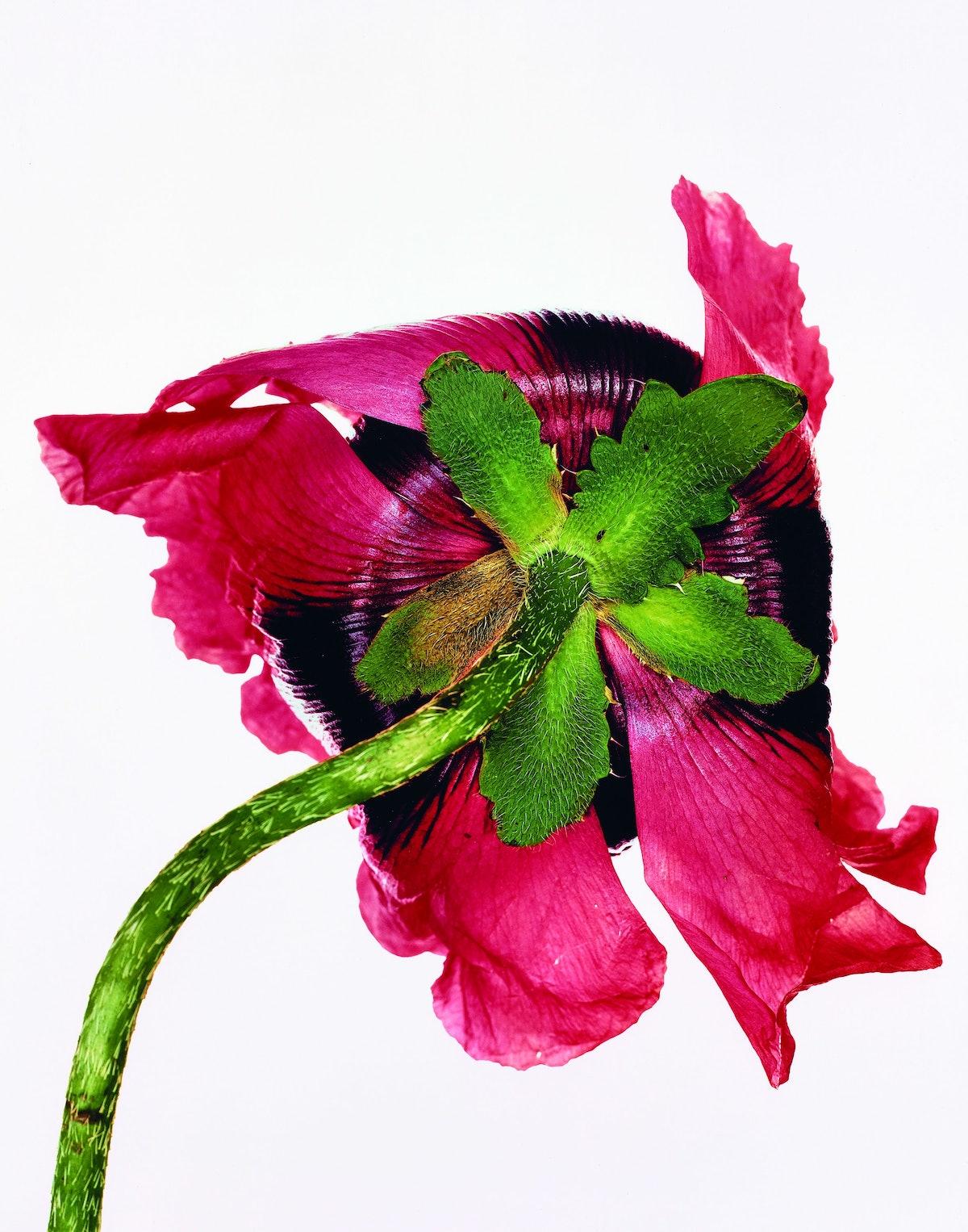 Single Oriental Poppy (B).jpg