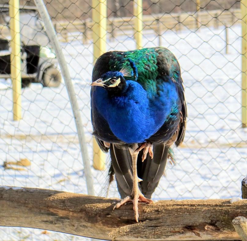 martha-stewart-peacock.jpg