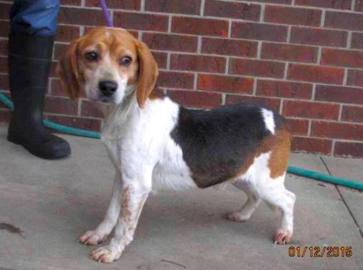 meghan-markle-beagle-guy-straightened.jpg