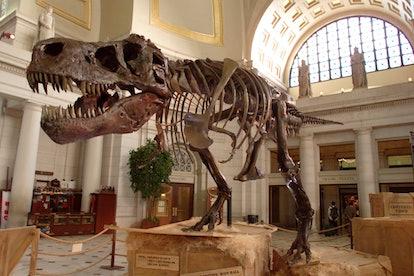 Sue the Tyrannosaurus Rex on Display in Washington D.C.