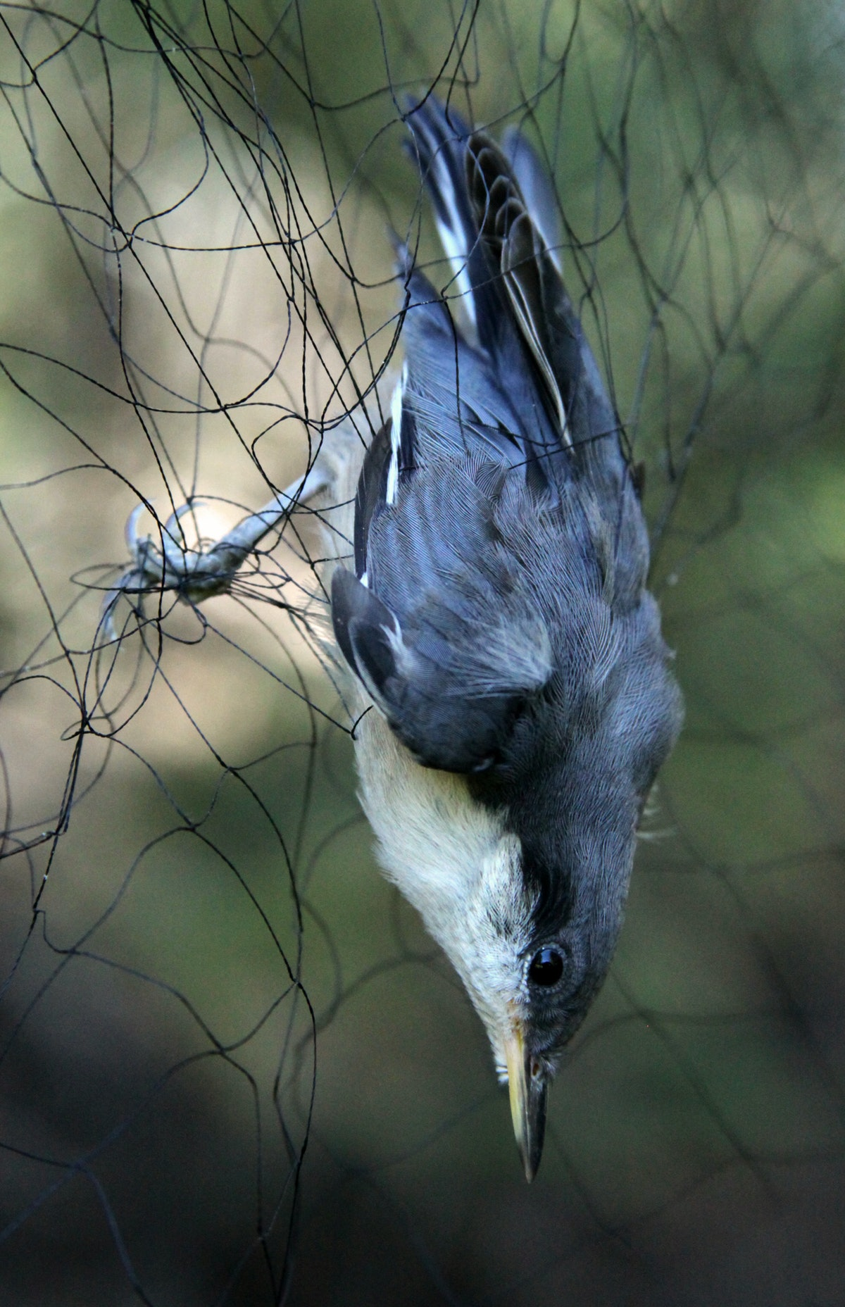 A pygmy nuthatch is ensnared in a mist net in Tahquitz Canyon on June 22, 2009 set up by researcher