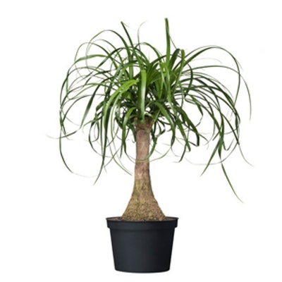 Elephant's Foot Potted Plant