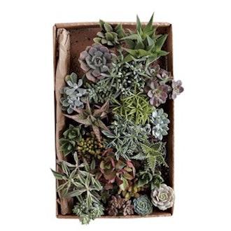 Succulents (Set of 3)